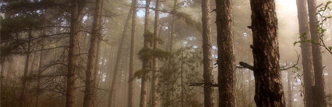 fog-forrest